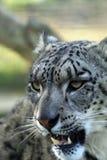 Leopardo delle nevi, sopportante i suoi denti Fotografia Stock