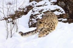 Leopardo delle nevi sulla caccia Fotografia Stock