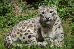 Leopardo delle nevi & x28; Uncia& x29 della panthera; fotografia stock
