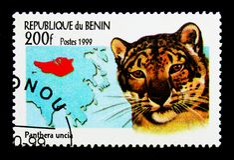 Leopardo delle nevi (uncia) della panthera, serie selvaggio dei gatti, circa 1999 Immagini Stock Libere da Diritti