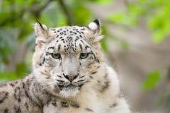 Leopardo delle nevi, uncia di Irbis Uncia Fotografia Stock Libera da Diritti
