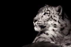 Leopardo delle nevi XI B&W Fotografia Stock Libera da Diritti