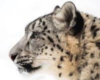 Leopardo delle nevi XV immagini stock libere da diritti