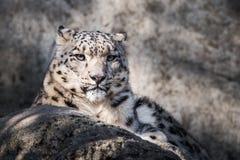 Leopardo delle nevi XVII Fotografie Stock