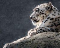 Leopardo delle nevi XXXI Fotografie Stock