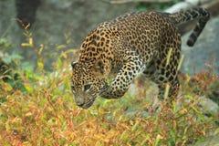 Leopardo dello Sri Lanka Fotografia Stock Libera da Diritti