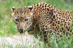 Leopardo dello Sri Lanka Immagini Stock