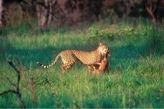 Leopardo di caccia Immagini Stock Libere da Diritti