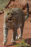 Leopardo di cadenza Fotografie Stock Libere da Diritti