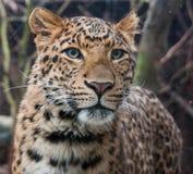 Leopardo di Cina del nord Fotografia Stock