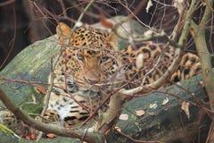Leopardo di Cina del nord Fotografie Stock Libere da Diritti