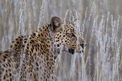 Leopardo di gran lunga in erba Fotografia Stock