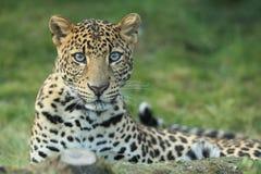 Leopardo di Javan Immagini Stock Libere da Diritti