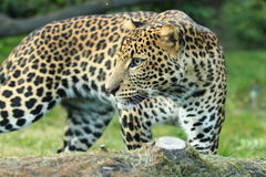 Leopardo di Javan Fotografie Stock