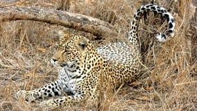Leopardo di menzogne Fotografia Stock