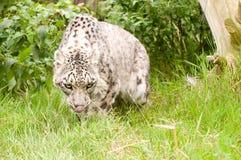 Leopardo di neve Fotografia Stock