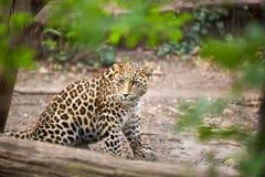 Leopardo di neve Fotografie Stock Libere da Diritti
