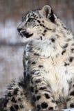 Leopardo di neve Immagini Stock Libere da Diritti