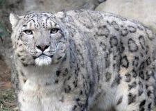 Leopardo di neve Immagine Stock Libera da Diritti