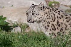 Leopardo di neve Fotografia Stock Libera da Diritti