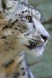 Leopardo di neve immagini stock