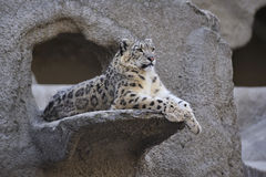 Leopardo di neve Immagine Stock