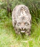 Leopardo di neve che ringhia Fotografia Stock Libera da Diritti