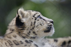 Leopardo di neve Cub fotografia stock libera da diritti