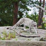 Leopardo di neve di sbadiglio Fotografia Stock