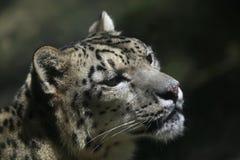 Leopardo di neve (uncia del panthera) immagine stock