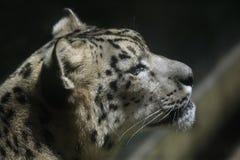 Leopardo di neve (uncia del panthera) immagine stock libera da diritti