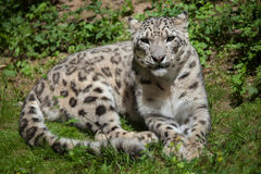 Leopardo di neve (uncia del panthera) fotografie stock