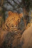 Leopardo di riposo Immagine Stock