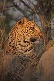 Leopardo di riposo Fotografie Stock