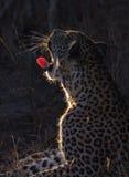 Leopardo di sbadiglio Fotografie Stock Libere da Diritti