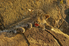 Leopardo di sbadiglio Fotografia Stock Libera da Diritti