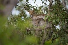 Leopardo distante encubierto en un árbol verde frondoso foto de archivo