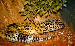 Leopardo do Gecko fotografia de stock