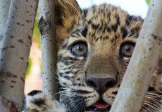 Leopardo do leste imagem de stock
