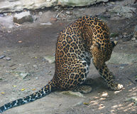 Leopardo do tigre foto de stock royalty free