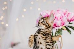 Leopardo dos babys dos gatos de Bengal Foto de Stock