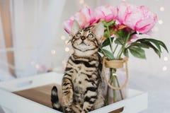 Leopardo dos babys dos gatos de Bengal Fotografia de Stock