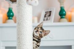 Leopardo dos babys dos gatos de Bengal Fotos de Stock Royalty Free