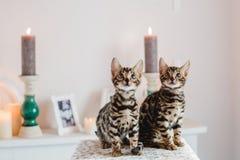 Leopardo dos babys dos gatos de Bengal Imagens de Stock