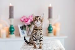 Leopardo dos babys dos gatos de Bengal Fotos de Stock