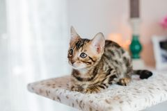 Leopardo dos babys dos gatos de Bengal Imagem de Stock