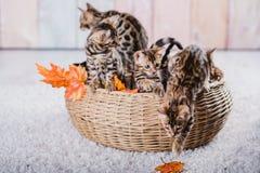 Leopardo dos babys dos gatos de Bengal Fotografia de Stock Royalty Free