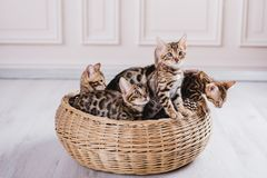 Leopardo dos babys dos gatos de Bengal Imagens de Stock Royalty Free