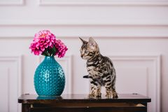Leopardo dos babys dos gatos de Bengal Foto de Stock Royalty Free