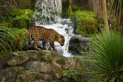 Leopardo e cascata fotografie stock libere da diritti